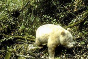 В Китае показали первую в мире дикую панду-альбиноса