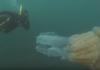 Дайверы засняли гигантскую медузу размером с человека