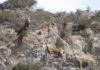 В Кыргызстане открыт сезон охоты на парнокопытных диких животных