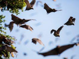Летучие мыши не болеют вирусами, которые сами переносят