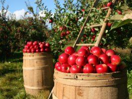 В какой части яблока больше всего витаминов, рассказали исследователи