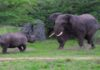 Схватка слона и носорога в ЮАР попала на видео