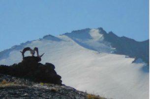 Парламент Кыргызстана обрек снежного барса на медленное вымирание – Экостан