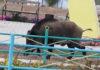 Полицейские Казахстана застрелили дикого кабана на детской площадке (видео)