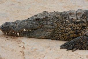 Крокодил охраняет кладку яиц от варанов: видео
