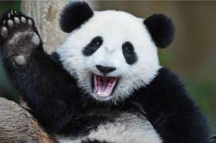 Панды спасаются от землетрясения: видео