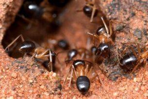 Австралийские муравьи научились добывать азот из мочи кенгуру