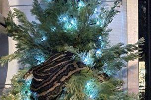 Трехметровый питон уснул на новогодней елке в Австралии