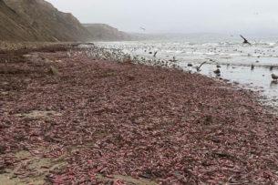 Чайки наелись, едва держаться на ногах: Тысячи «рыб-пенисов» выбросило на пляж в США