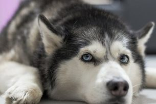 Видео о собаке, которая удочерила козленка