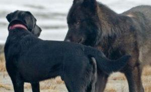 Огромный волк подошел к собаке вплотную
