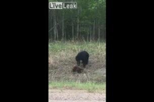 Очевидец снял на видео драку медведя с бобром