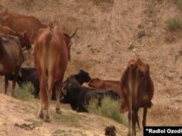 Угнали скот у брата спецслужб Таджикистана. Следы ведут в Афганистан