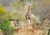 Жираф отбивается от стаи голодных львиц: видео