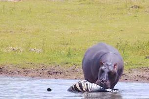Бегемоты в основном питаются травой. Но бывают исключения (видео)