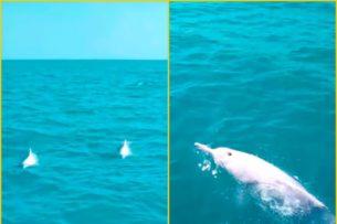 Редчайшие дельфины-альбиносы угощаются рыбкой: видео