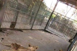 Нашли претендента на звание «Худшего зоопарка в мире». Львы — дистрофики и умирающая от истощения львица (фото, видео)
