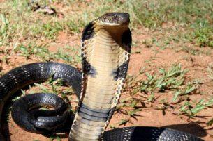 Гигантская королевская кобра заползла на кухню к пенсионерам (видео)