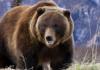 Стая волков, окружив медведя, не смогла отбить добычу у косолапого грабителя
