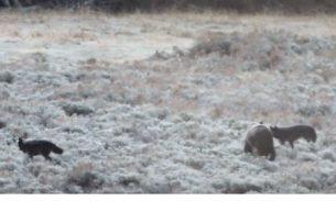 Медведь прибился к волчьей стае, чтобы пережить зиму (фото, видео)