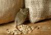 Кошачий паразит сделал мышей бесстрашными