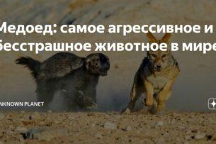 Медоед: самое агрессивное и бесстрашное животное в мире!