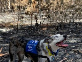 Брошенная хозяевами собака спасает коал