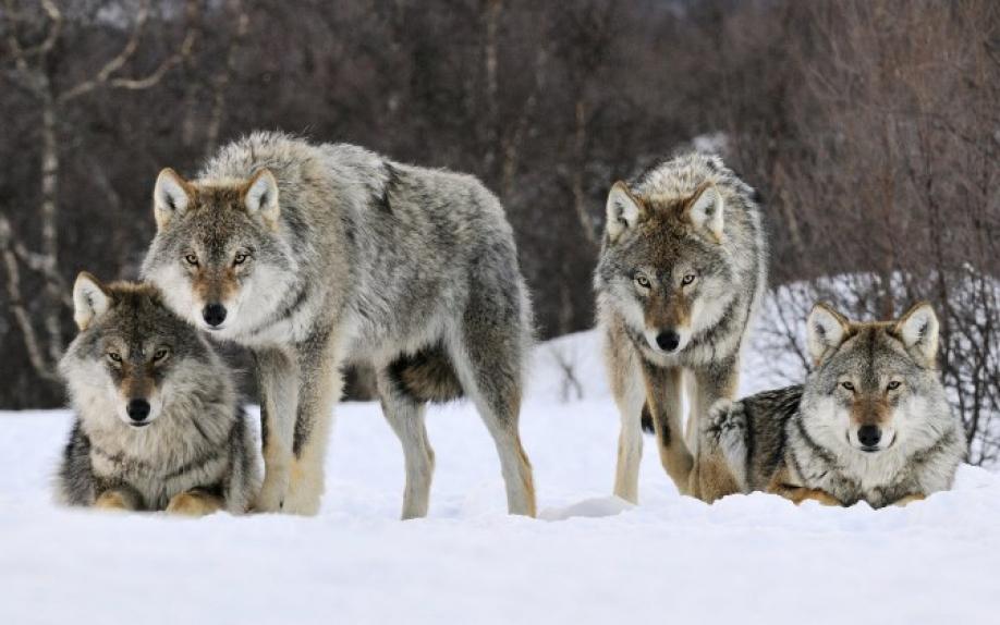 В Сибири ожидают нашествие голодных волков из Казахстана — K-News
