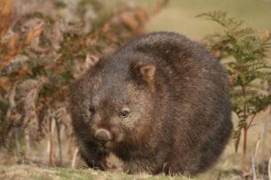 Greenpeace: вомбаты начали спасать мелких животных от пожаров в Австралии