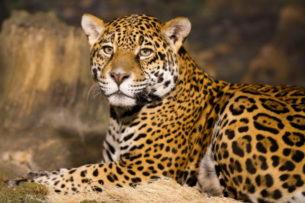 Невероятная история мальчика, выросшего с ягуарами