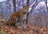 В Приморье собака загнала на дерево краснокнижного леопарда — видео