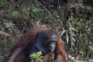 Орангутан протянул руку помощи змеелову. Как отреагировал человек?