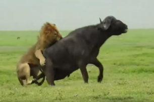 Лев показал львице как нужно охотиться (Видео)