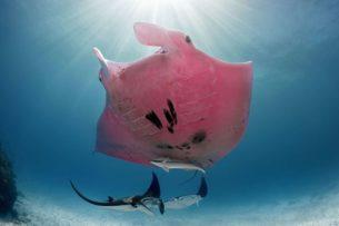 Гигантский розовый морской дьявол в Австралии: видео