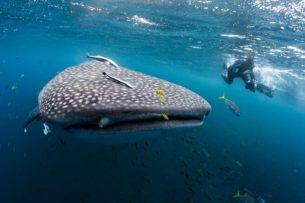 Дайверы спасли китовую акулу, запутавшуюся в канате: видео