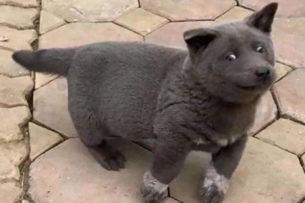 Во Вьетнаме обнаружили котопса. Одновременно похож на пухлого котика и щенка