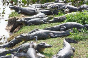 Воды не видно из-за крокодилов: рыбаки отправились на лодке по самому большому болоту мира (видео)