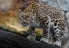 Леопард попытался стащить собаку, спавшую у порога жилища. Но произошло чудо