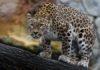 Леопард пришел в ресторан: видео