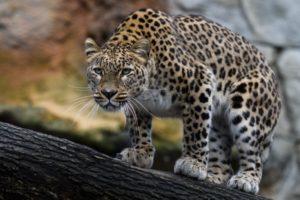 У леопардов особое отношение к обезьянам