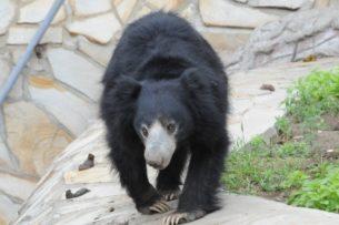 Медведь-губач показал грозный нрав двум тиграм