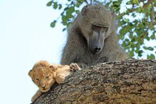 Обезьяна заботится о львенке: видео
