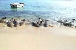 В Австралии сняли необычный танец акул на берегу