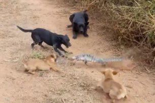 Смелый варан дал бой четверым псам, окружившим его (видео)