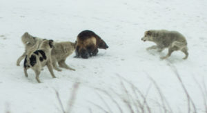 Волки против росомахи: на севере России очевидцы сняли жестокую схватку хищников