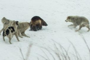 Волки против росомахи: очевидцы сняли жестокую схватку хищников