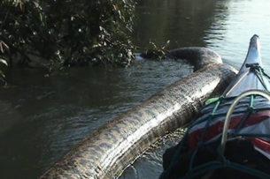 Аргентинские рыбаки сняли на видео самую большую анаконду