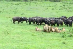 Буйвол, оказавшийся в окружении львов, позвал сородичей на помощь