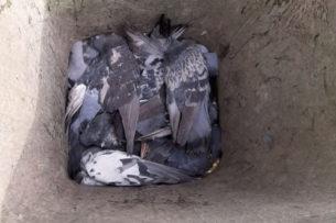 Названа предварительная причина гибели голубей в алматинском парке