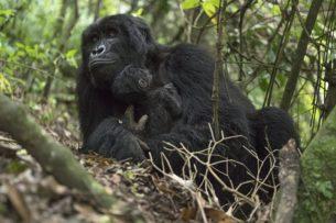 В Африке закрывают национальные парки, чтобы спасти горных горилл от коронавируса